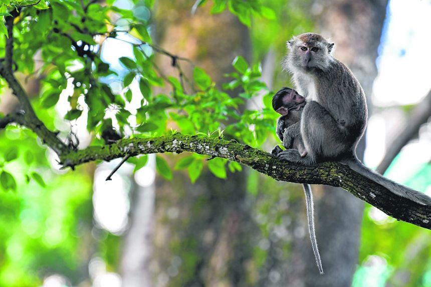 Right: A long-tailed macaque with its baby at the park. Groups of macaques have often been sighted in Bukit Panjang, which is between the western catchment reserve and Bukit Timah Hill. There have been reports of the testy relationship between the mo