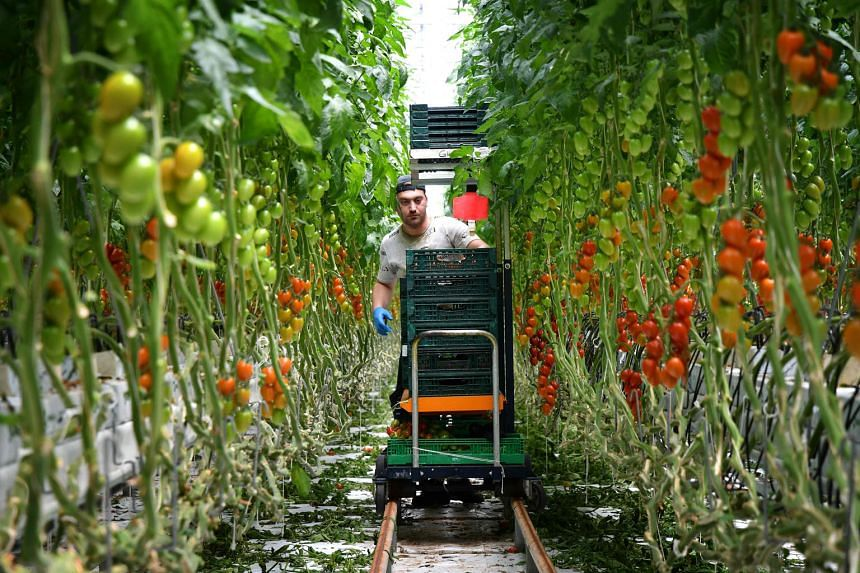The Italian tomato is prized around the world, but its reputation has soured in recent years over reports of mafia infiltration, slave labour and toxic fires that poison water sources. Southern Europe's biggest hydroponics farm is out to change all t
