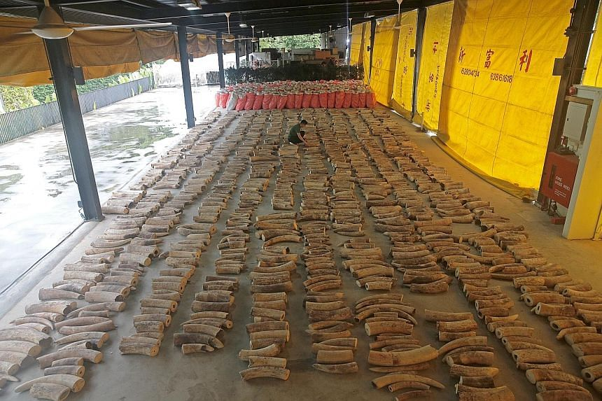 A huge haul of elephant ivory (above) and pangolin scales seized by the Singapore authorities last month. The Republic is a major transit country for the illegal wildlife trade due to its strong global connectivity. ST PHOTO: JASON QUAH
