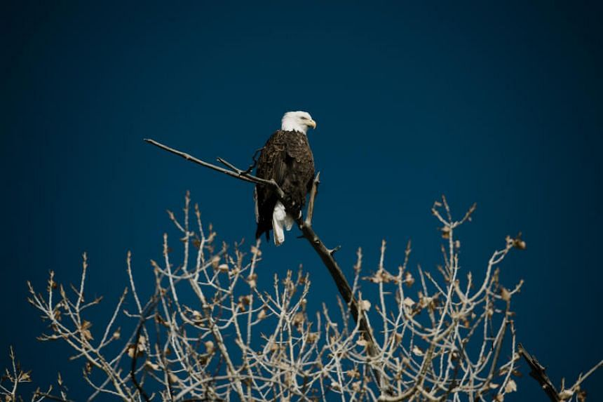 There are today some 10,000 nesting pairs of bald eagles, the national symbol of the US, from a low of 417 in 1963.