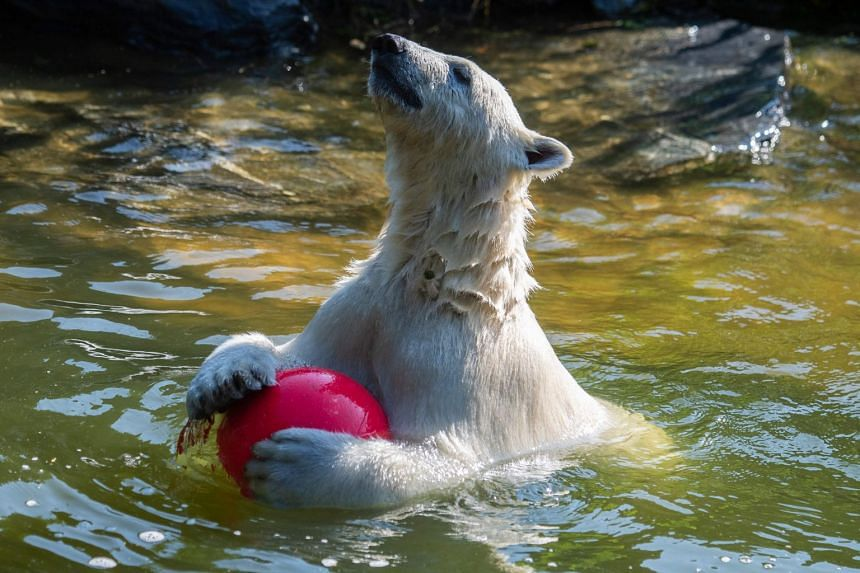 A July 2019 photo shows Hertha the polar bear playing at Tierpark zoo in Berlin as temperatures soar.