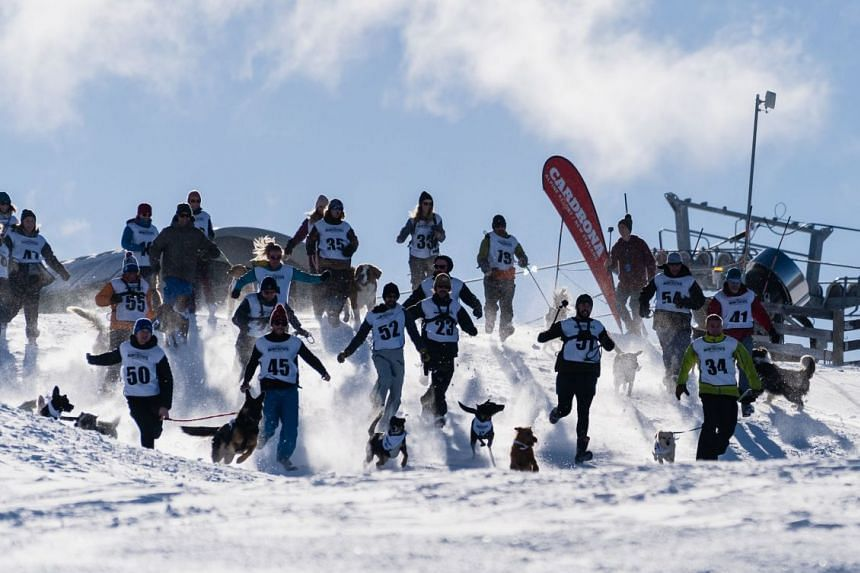During a dog derby at the quirky Queenstown Winter Festival, dogs and their owners trundle down the ski slopes towards the finish line.