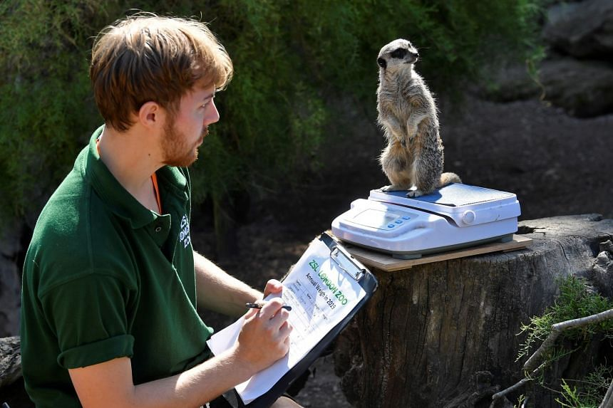 A meerkat stands on scales as zookeeper Luke Taylor looks on during the annual weigh-in at London Zoo.