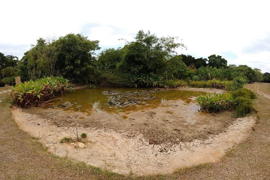 A dried-up lily pond at Pasir Ris Park yesterday. Last month was Singapore's second warmest July on record, with an average temperature of 29 deg C.