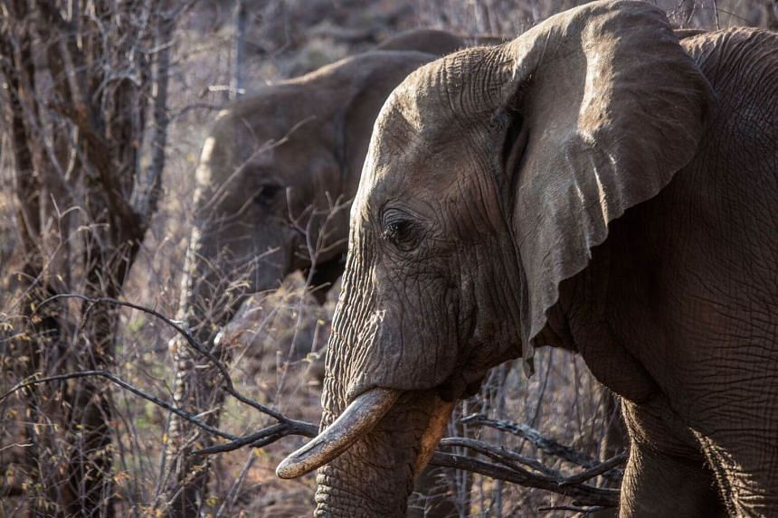 Elephants roaming through trees and low bush at the Pilanesberg National Park in the North West province, South Africa, on Aug 17, 2019.