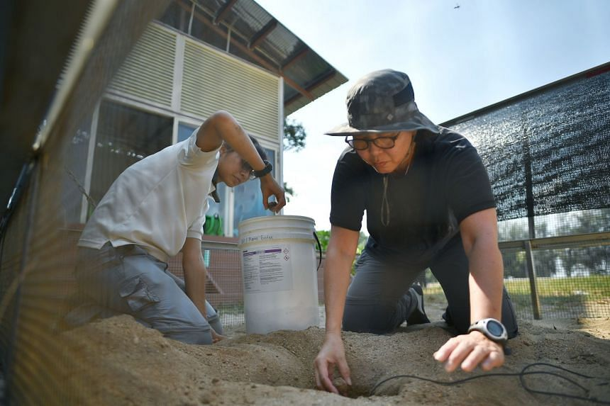 Ms Ng Juat Ying (left), a National Biodiversity Centre manager, and Ms Lisa Lim, a National Parks Board volunteer, placing the eggs laid at East Coast Park at the turtle hatchery at Sisters' Islands Marine Park yesterday.