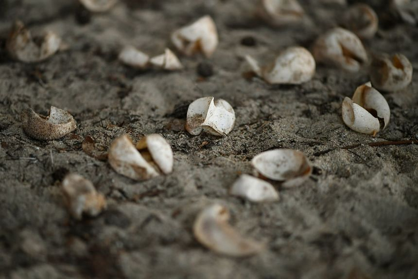 Some undeveloped and hatched turtle eggs were also found yesterday at East Coast Park.