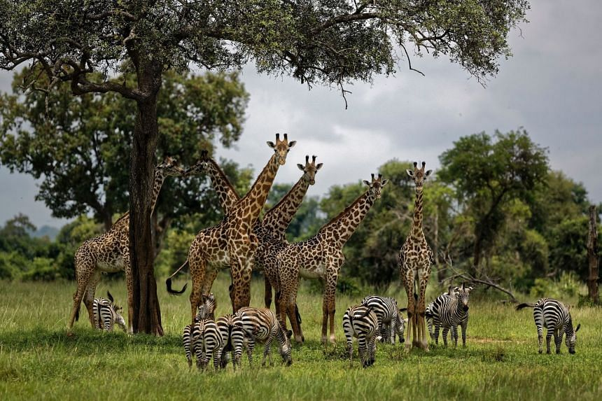 A 2018 photo shows giraffes and zebras congregating under the shade of a tree in Tanzania.