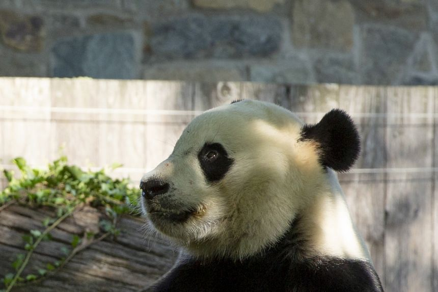 Bei Bei on his birthday at the Smithsonian National Zoo in Washington, DC.