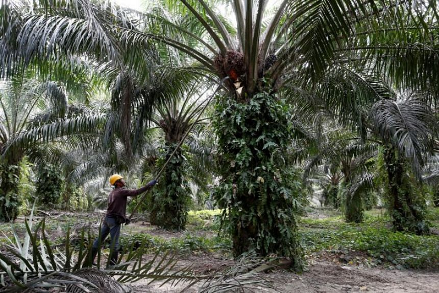 A worker collecting oil palm fruits at a plantation in Bahau, Negeri Sembilan, Malaysia, on Jan 30, 2019.