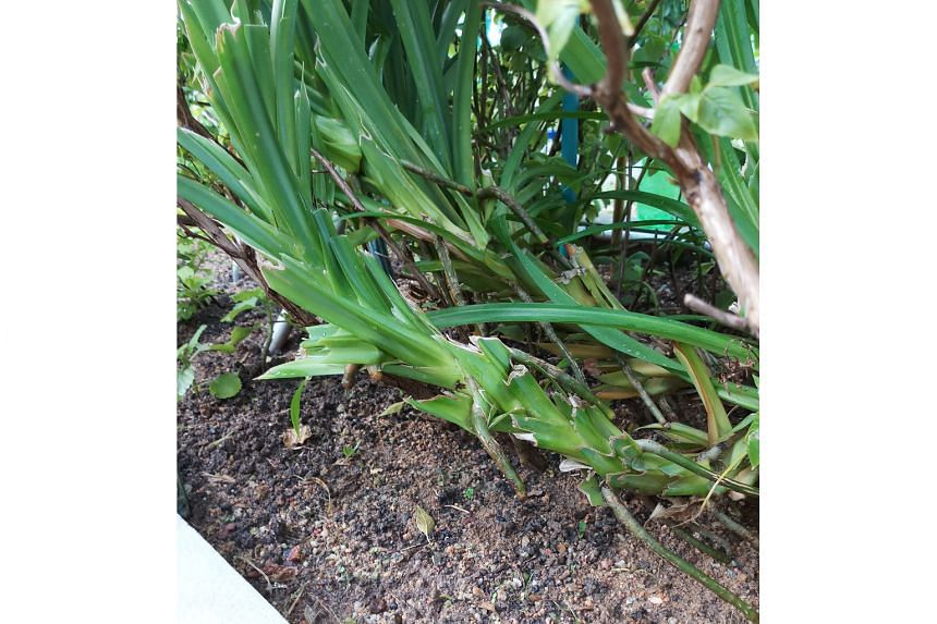 New growth in pandan plant will occur when plant is pruned correctly