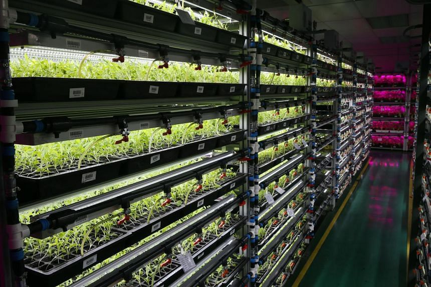 The high-tech indoor vegetable farm at Panasonic Factory Solutions Asia Pacific's premises in Jalan Ahmad Ibrahim.