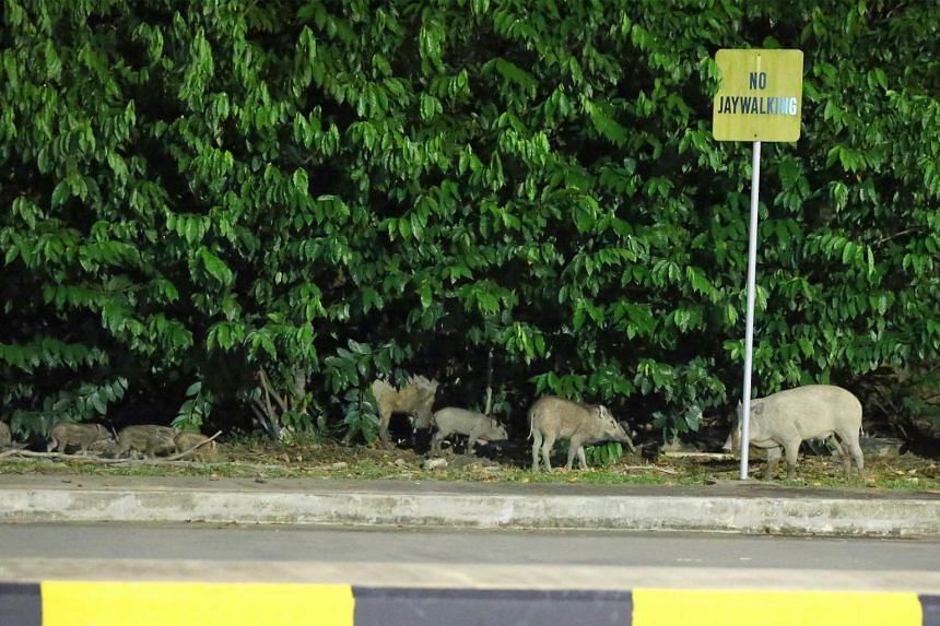 Wild boars spotted around Tuas bus interchange on Jun 15, 2017.
