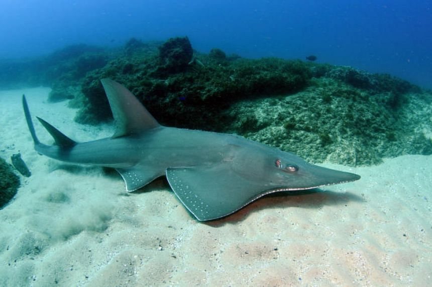 The shovelnose ray (Rhynochobatus australiae), a Singapore native also known as the bottlenose wedgefish, will soon get better protection.