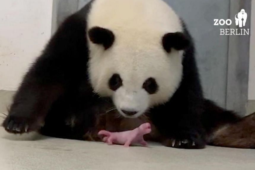 Berlin's resident panda Meng Meng delivered her first cub on Aug 31 evening, and a second baby was born an hour later.