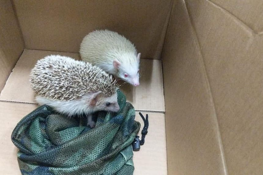 Officers from the Immigration and Checkpoints Authority found the hedgehogs wrapped in a camouflage net and hidden in the spare tyre compartment of a Singapore-registered car at Woodlands Checkpoint.