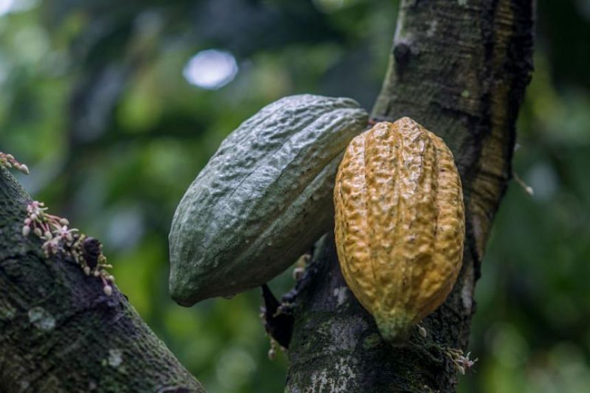 Cocoa trees are being ravaged by a disease with no known