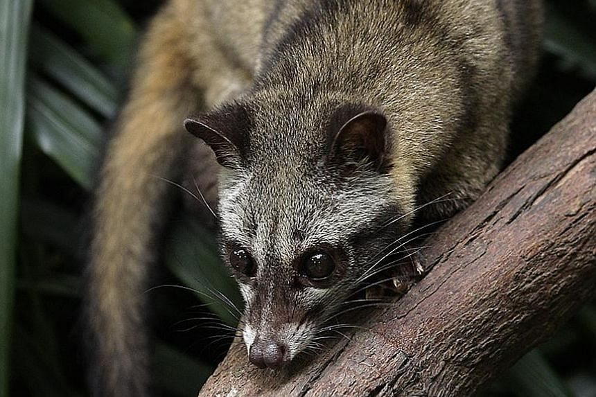 The white-rumped shama was deemed extinct here during the 1970s. But recent observations suggest the bird is back, sparking speculation that those in the wild may have been smuggled in but released. Common palm civets, with their endearing appearance