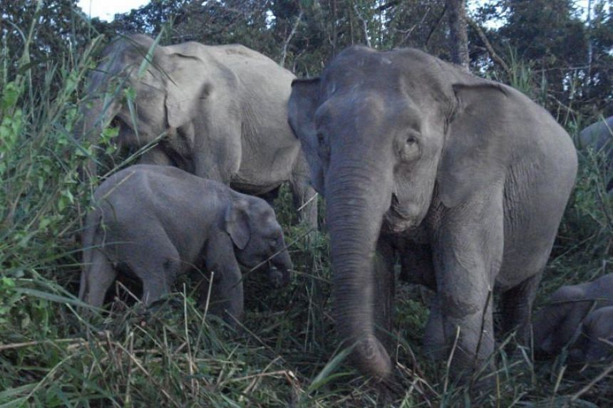 Sabah has an estimated 1,500 to 2,000 pygmy elephants that continue to be under threat from poaching activities.