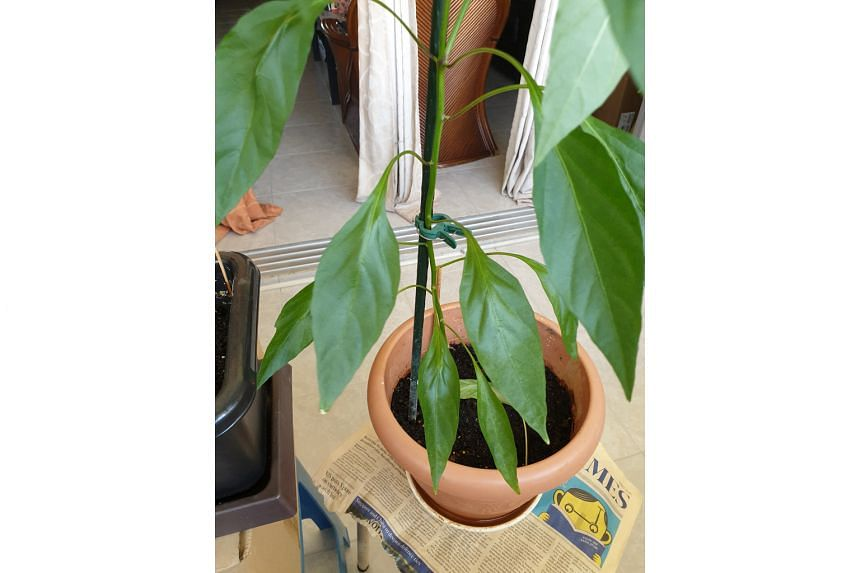 Chilli plant may be affected by mites.