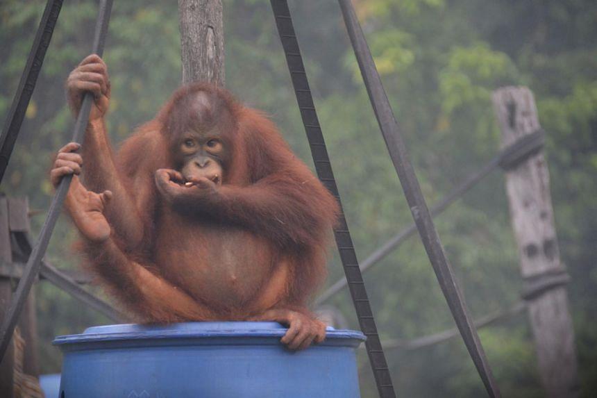 This picture taken on Sept 17, 2019 shows an orang utan at the Orangutan Rehabilitation Centre in Nyaru Menten, central Kalimantan.