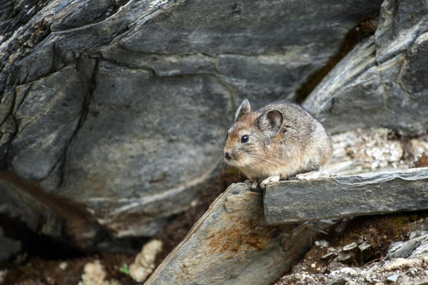 Scientists think that pikas capable of adapting their behaviour to rising temperatures might have better chances of surviving as global warming advances.