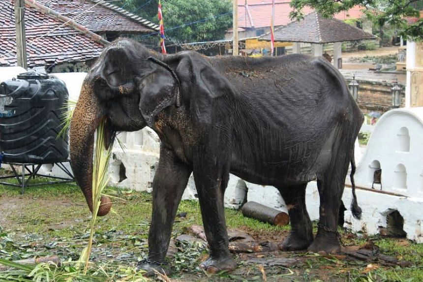 The government has ordered an autopsy for Tikiri, a domesticated Asian elephant that died on Tuesday night in Kegalle, 80km east of the capital Colombo.