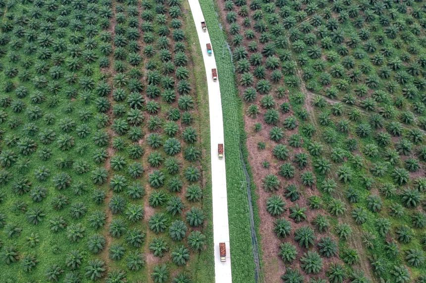 An aerial photo of an oil palm plantation in Sumatra, Indonesia, on Nov 28, 2018. Palm oil is the world's most widely used edible oil, found in everything from margarine to soap.