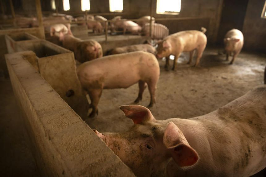Severe damage to pig herds in China, the world's top pork producer, has disrupted global markets from pork to feed, including corn and soymeal.
