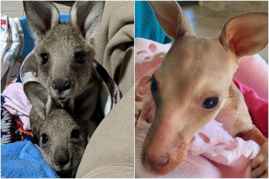 Australian Police Seek Culprit For Hit-And-Run Killings Of Up To 20 Kangaroos