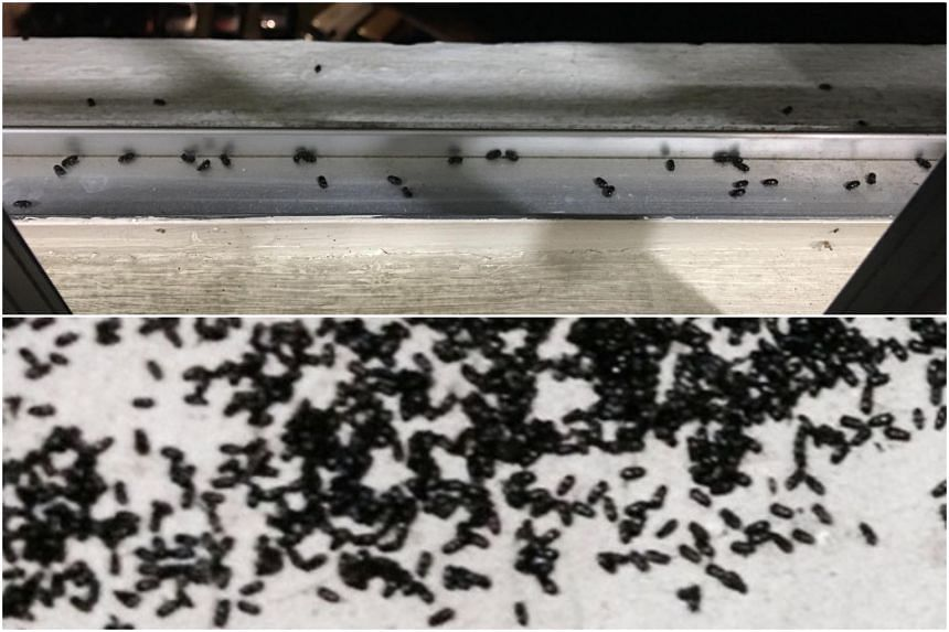 It is still unclear if the critters harassing residents in Blocks 170, 171 and 172 this year are of the same species as the insects from four years ago.