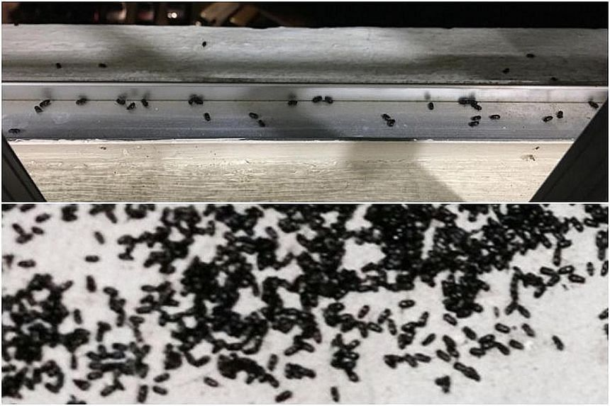 Workers from Jurong-Clementi Town Council covering the lights at the lift lobby on every floor of Block 172 Bukit Batok West Avenue 8 with yellow-tinted paper as a measure against the insects. The black beetle-like bugs have affected three blocks in