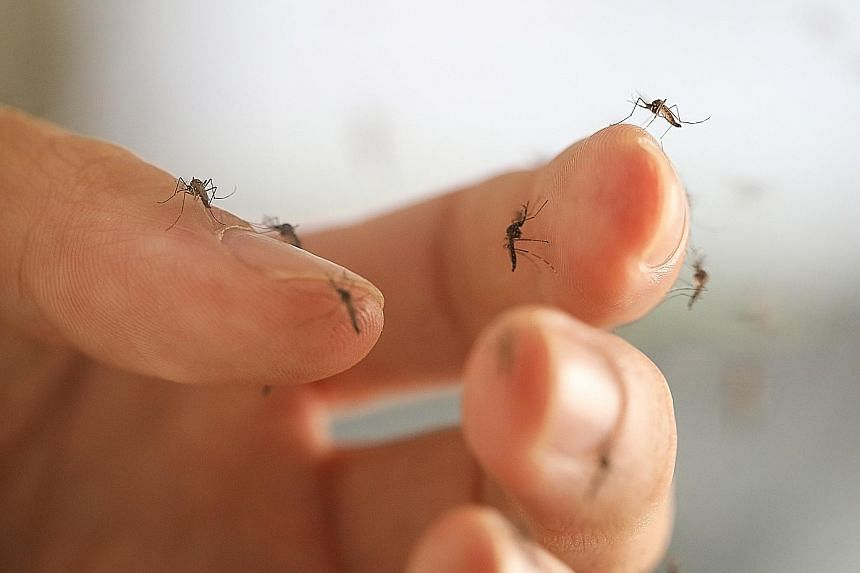 Project Wolbachia, which NEA has been studying since 2012, involves the use of male Wolbachia-carrying Aedes mosquitoes (above). The mosquitoes mate with females, causing them to lay eggs that do not hatch.