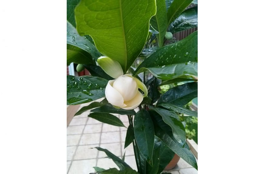 Grow Coconut Magnolia in a pot to manage its size.