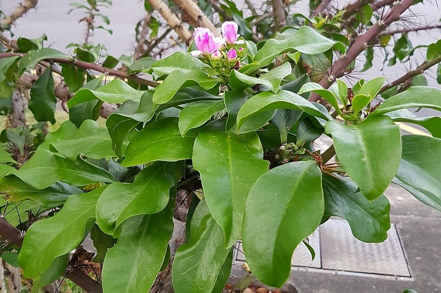 Leafy rose cactus has attractive flowers.