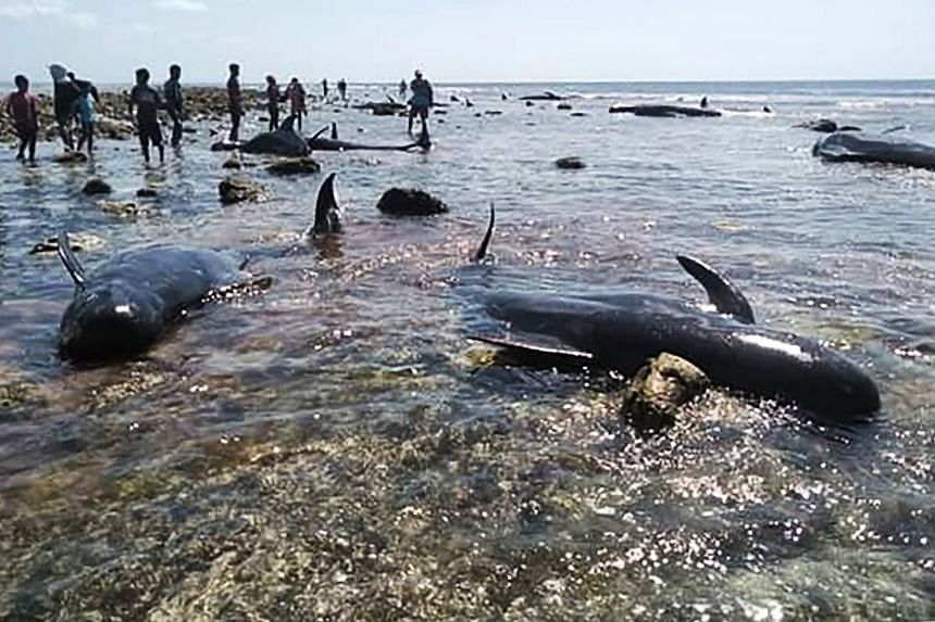 Villagers and maritime officers checking on pilot whales that were stranded on Kolo Udju beach on the coast of Menia Village, East Nusa Tenggara, on Oct 11, 2019.
