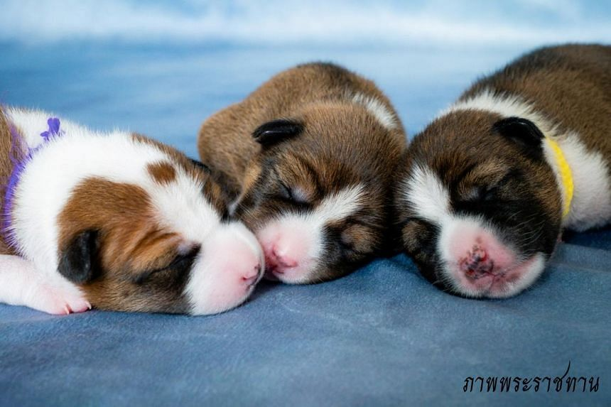 The black, brown and white puppies were born from two royal dogs artificially inseminated with semen from two male offspring of Khun Thong Daeng, the late king's pet.