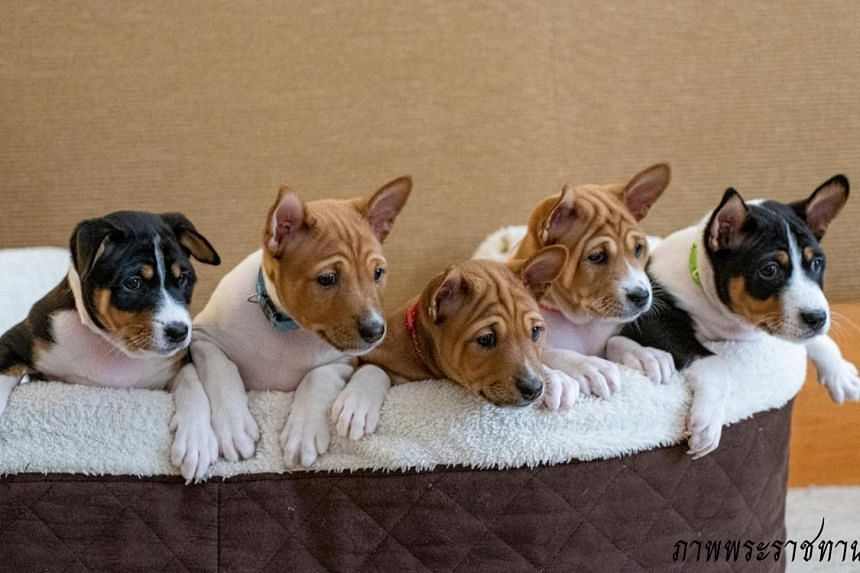 University veterinarians used semen from the male offspring of the late king's dog, Khun Thong Daeng, to impregnate two royal dogs. Five puppies were born in June and three in September.