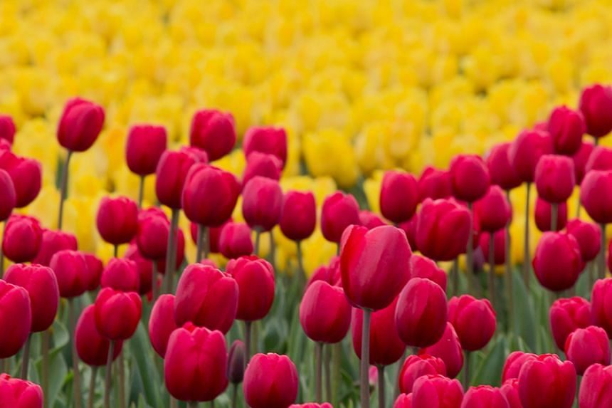 A probe found that often only one flower resembled the pictures on the packaging of tulips sold at the market, and that there were fewer bulbs than advertised.