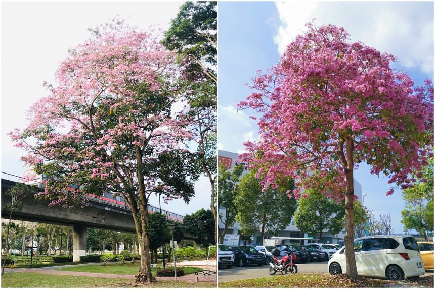 Flowering trumpet trees seen at Sun Plaza Park (Left) and Expo Hall carpark in October.