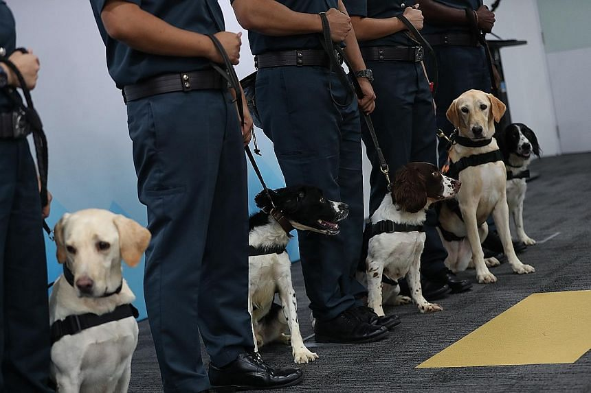 The dogs in Certis Singapore's first K-9 unit receiving their proficiency badges at a presentation ceremony yesterday. They will soon be deployed for security sweeps at large-scale entertainment events.