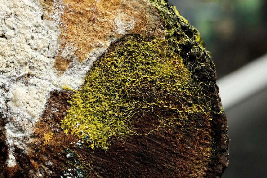 """The """"blob"""", slime mould (Physarum polycephalum), a single-celled organism forming over tree chunk, is pictured at the Paris Zoological Park during a press preview in Paris, France, on Oct 16, 2019."""
