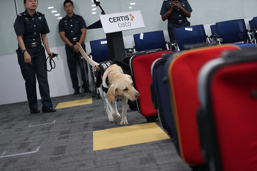Crimebuster with her nose to the ground: A sniffer dog named Naomi checking for hidden explosive materials during a demonstration at Certis' headquarters yesterday. The two-year-old labrador retriever is a member of the security firm's new K-9 unit,