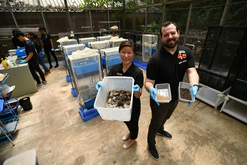Wildlife Reserves Singapore assistant director of zoology, Dr Francis Cabana (right), holds two containers of  black soldier flies' larvae while Republic Polytechnic's Dr Lily Ganda holds a container of carnivores' dung at the Singapore Zoo on Oct 17