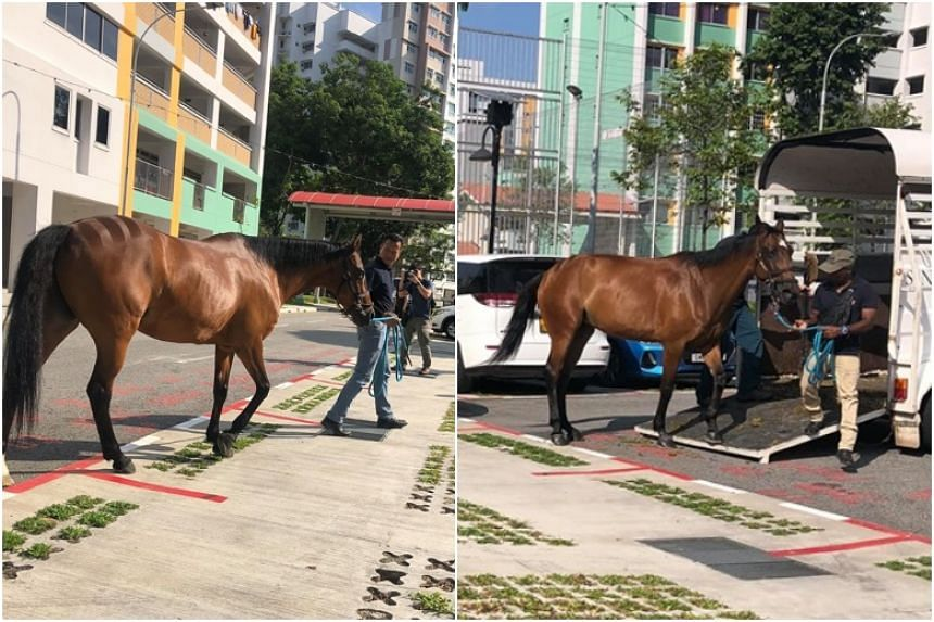 The horses are involved in an upcoming community project, said Mr Louis Ng, MP for Nee Soon GRC and founder of Animal Concerns Research and Education Society, in a comment on Honda William's Facebook post.