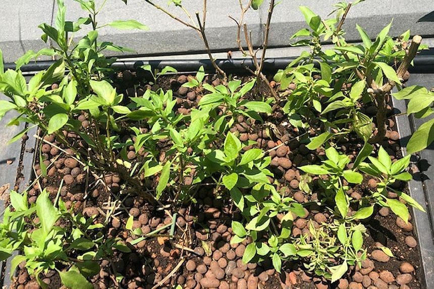 Thai basil plants may need larger containers.