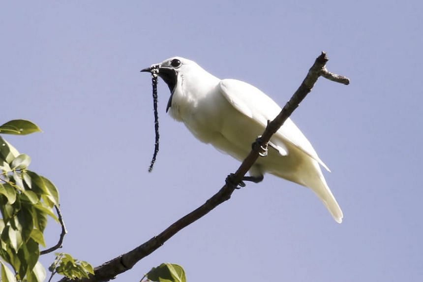 A photo obtained on Oct 21, 2019 shows a male white bellbird (Procnias albus) screaming its mating call.