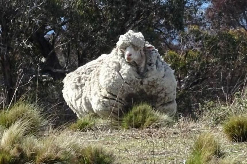 Chris the sheep, believed to be aged about 10, was found dead on Oct 22 by his minders, having died of old age. He was discovered on the outskirts of Canberra in 2015 with more than 40kg of wool.
