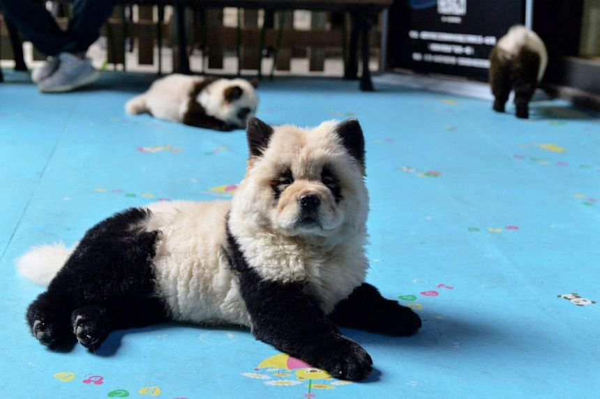 Dogs dyed black and white to mimic panda cubs at Cute Pet Games cafe in Chengdu, China, on Oct 23, 2019.