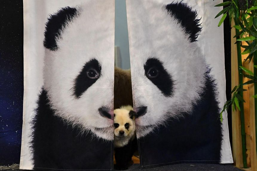 A dog dyed black and white to mimic a panda cub at Cute Pet Games cafe in Chengdu, China, on Oct 22, 2019.